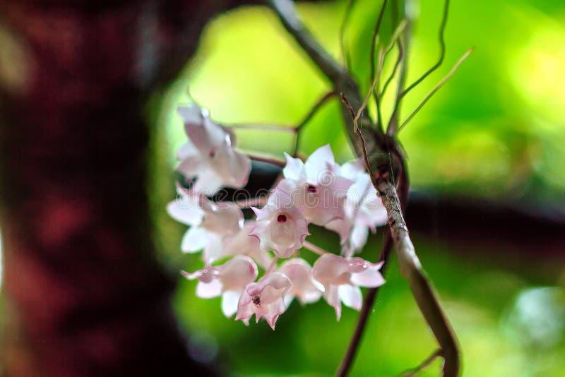 De Kleine Lipped Dendrobium-bloemen zijn lichtrose in kleur royalty-vrije stock foto