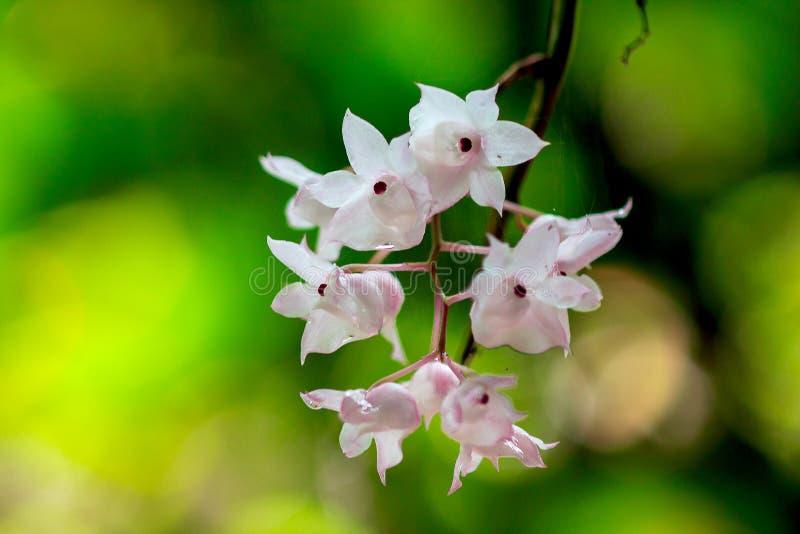 De Kleine Lipped Dendrobium-bloemen zijn lichtrose in kleur stock fotografie