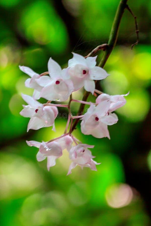 De Kleine Lipped Dendrobium-bloemen zijn lichtrose in kleur stock afbeelding