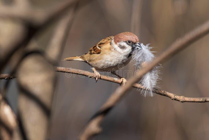 De kleine mus houdt een reusachtige lichte veer in zijn bek en treft voorbereidingen om tot een nest Bruine vogel en sneeuwwitte  royalty-vrije stock foto's