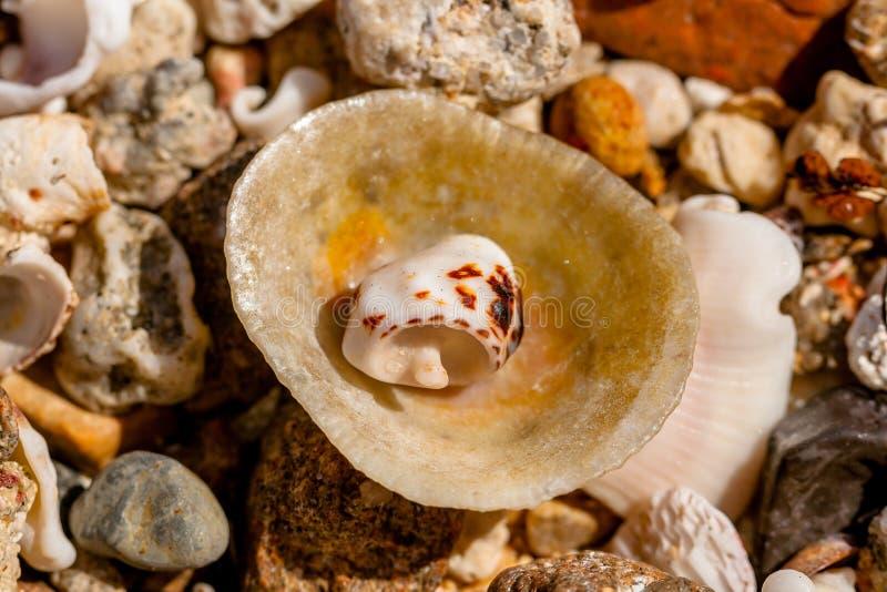 De Kleine Rest Shell in een Grote Zeeschelp en Kiezelstenen en Koralen van Egypte stock foto's