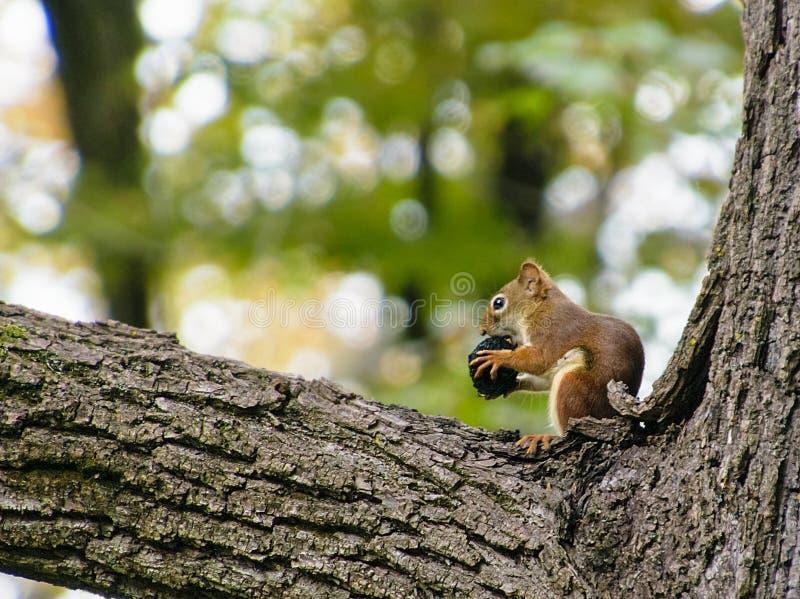 De kleine rode eekhoorn knaagt aan op een zwarte okkernoot stock foto's