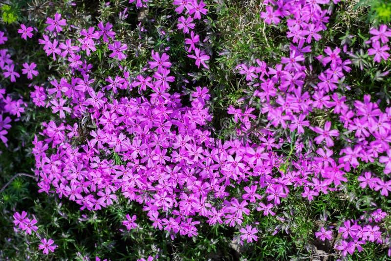 De kleine roze tuin bloeit dicht omhoog, achtergrond stock foto's