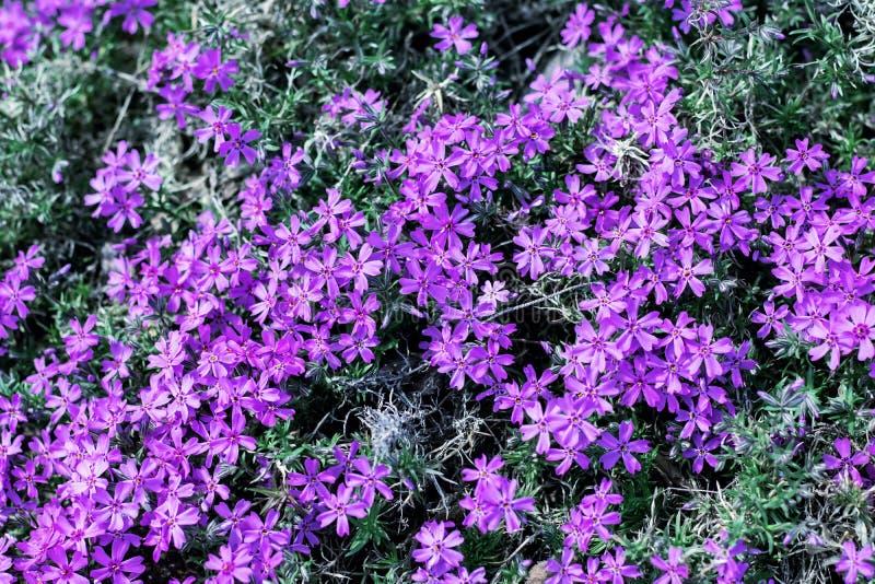 De kleine roze tuin bloeit dicht omhoog, achtergrond royalty-vrije stock foto's