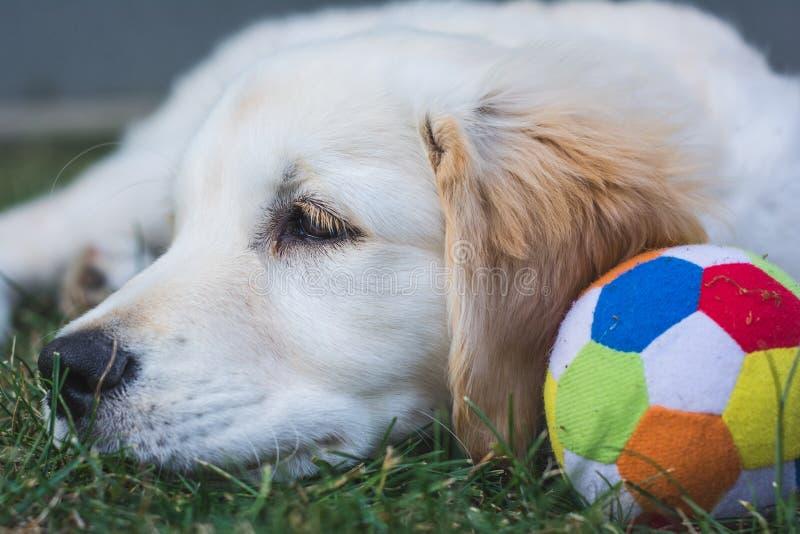 De kleine rust van het golden retrieverpuppy dichtbij een kleurrijke bal stock afbeelding