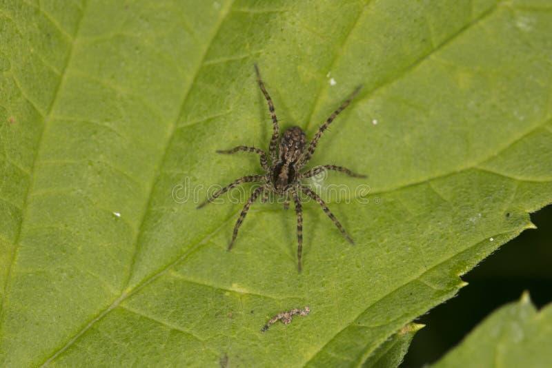 De kleine spin van een springende familie zit op een blad royalty-vrije stock fotografie