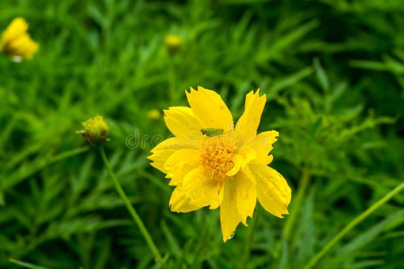 De kleine sprinkhaan op mooie gele bloemen is een natuurlijk gezicht stock afbeelding