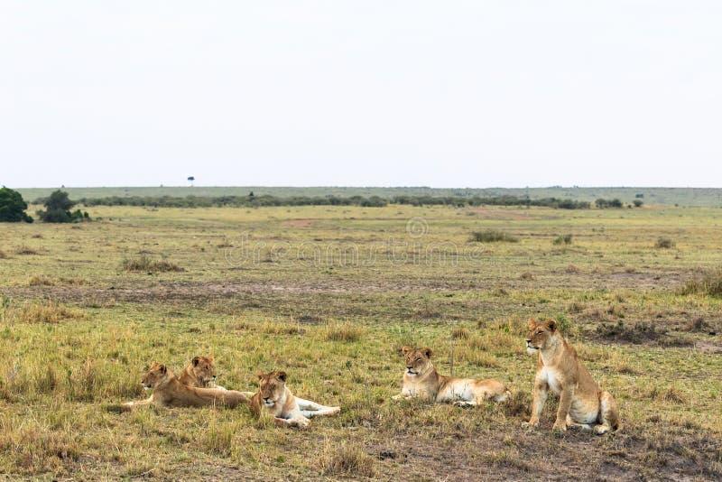 De kleine trots rust leeuwin in de savanne Kenia, Afrika stock afbeelding
