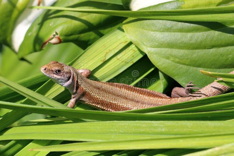 De kleine viviparous hagedis zonnebaadt in de de zomerzon stock fotografie