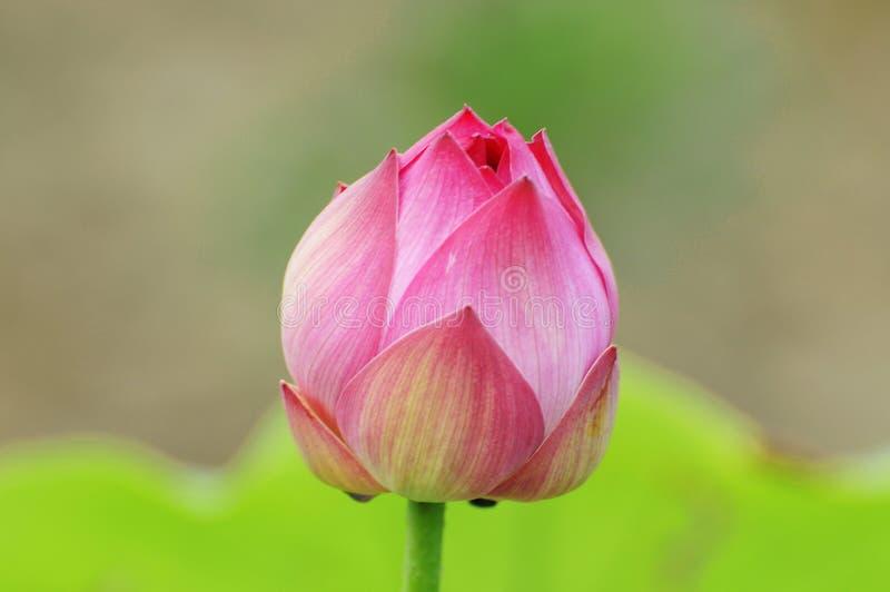 De kleur van de zuiverheid van de knop van de lotusbloembloem royalty-vrije stock afbeelding
