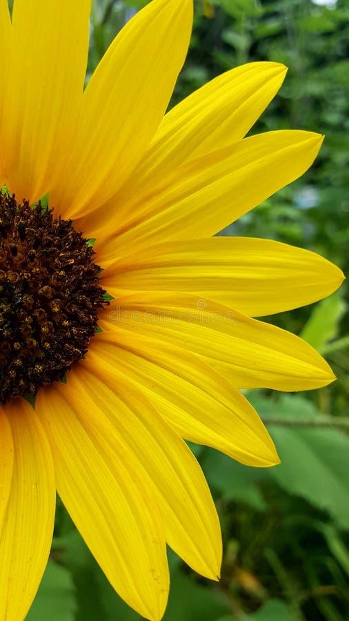 De kleuren van de zonbloem royalty-vrije stock afbeelding