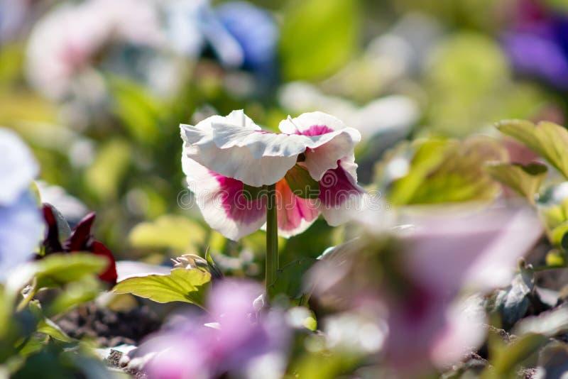 De kleurrijke achtergrond van blauwe gele rode purpere viooltjealtviool bloeit, zachte nadruk royalty-vrije stock fotografie