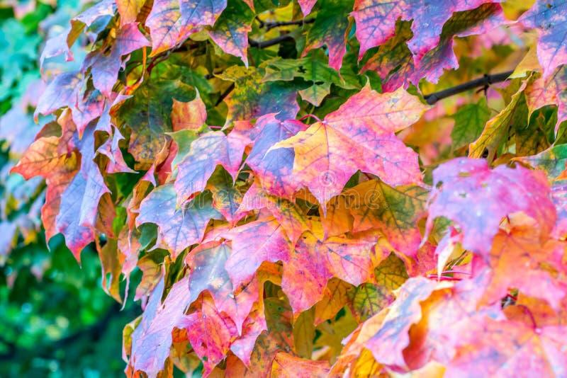 De kleurrijke bladeren tonen het begin van de herfst stock foto