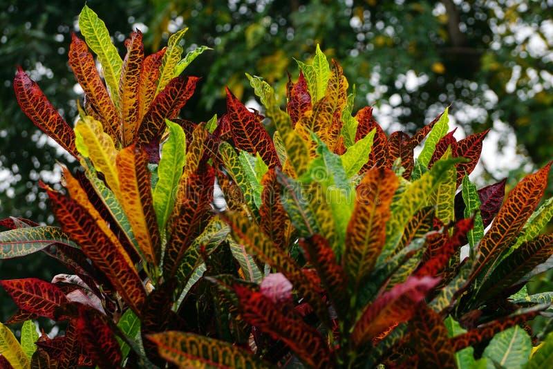 De kleurrijke bladeren van een Petra Croton-installatie stock foto's