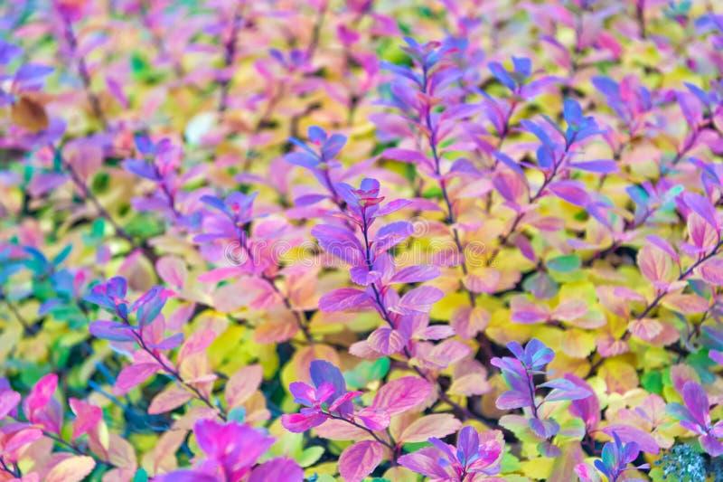 De kleurrijke Bladeren van de Herfst Installatie met kleurrijke bladeren in Reykjavik, IJsland Schoonheid van aardconcept Autumn  royalty-vrije stock afbeelding