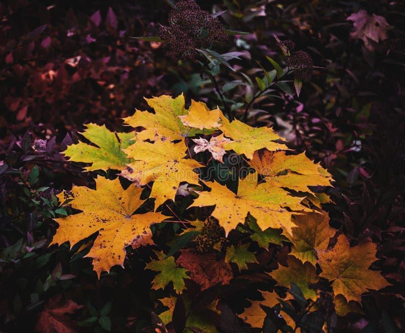 De kleurrijke bladeren van de de herfstesdoorn royalty-vrije stock fotografie
