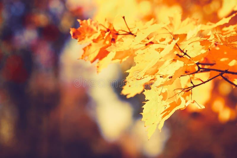 De kleurrijke bladeren van de de herfstesdoorn vertakken zich natuurlijke achtergrond Kleurrijk Rood en Geel Autumn Foliage stock afbeelding