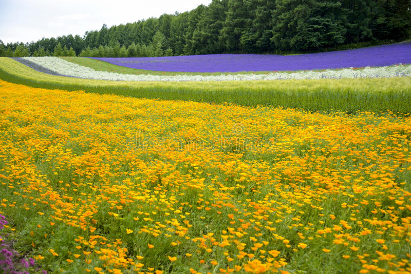 De Kleurrijke bloem in tuin royalty-vrije stock afbeelding