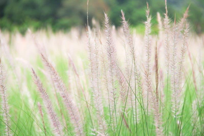 De kleurrijke bloemen van het naaldgras op het grasgebied met lichte wind stock fotografie