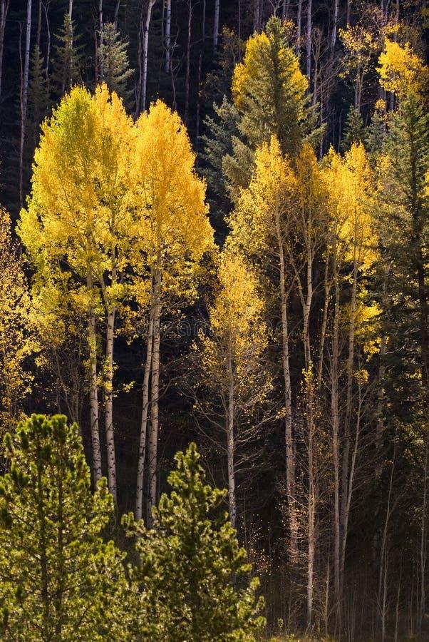 De kleurrijke bomen van de Esp in Vail, Colorado stock foto