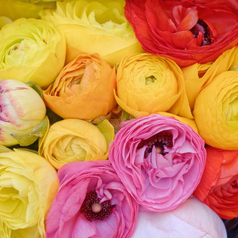De kleurrijke boterbloem bloeit close-up, natuurlijke achtergrond stock fotografie