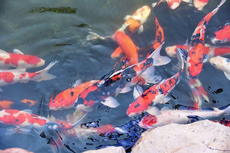 De kleurrijke buitensporige koivissen op het oppervlaktewater/de mooie vissenkarper die in de vijvertuin zwemmen genieten voer va stock afbeelding