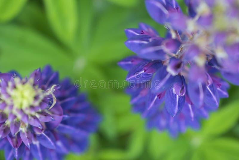 De kleurrijke dichte omhooggaande foto van de zomer wildflower lupine stock afbeeldingen