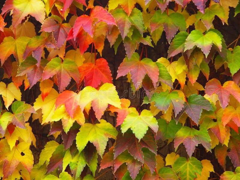 De kleurrijke esdoorn doorbladert royalty-vrije stock afbeeldingen