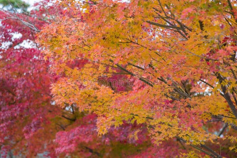 De kleurrijke esdoorn doorbladert op boom tijdens de herfstseizoen stock fotografie