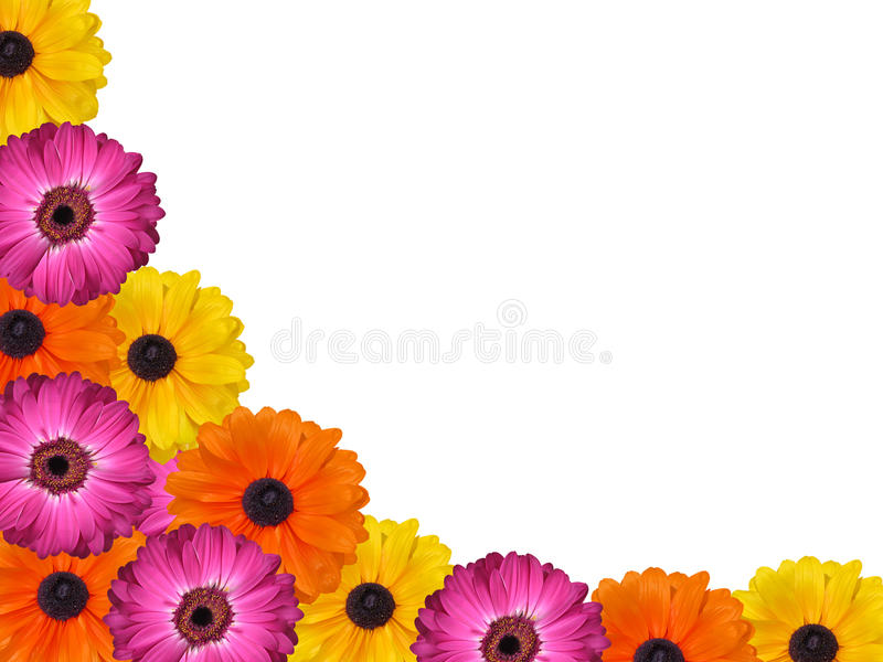 De kleurrijke geïsoleerde roze gele en oranje achtergrond van het gerberamadeliefje stock foto's