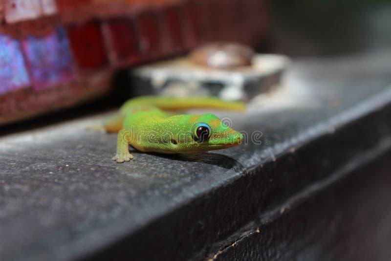 De kleurrijke Groene Gouden Gekko van de Stofdag royalty-vrije stock afbeeldingen