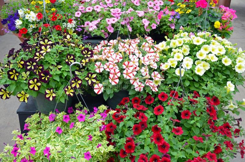 De kleurrijke hangende manden van de petuniabloem stock afbeeldingen