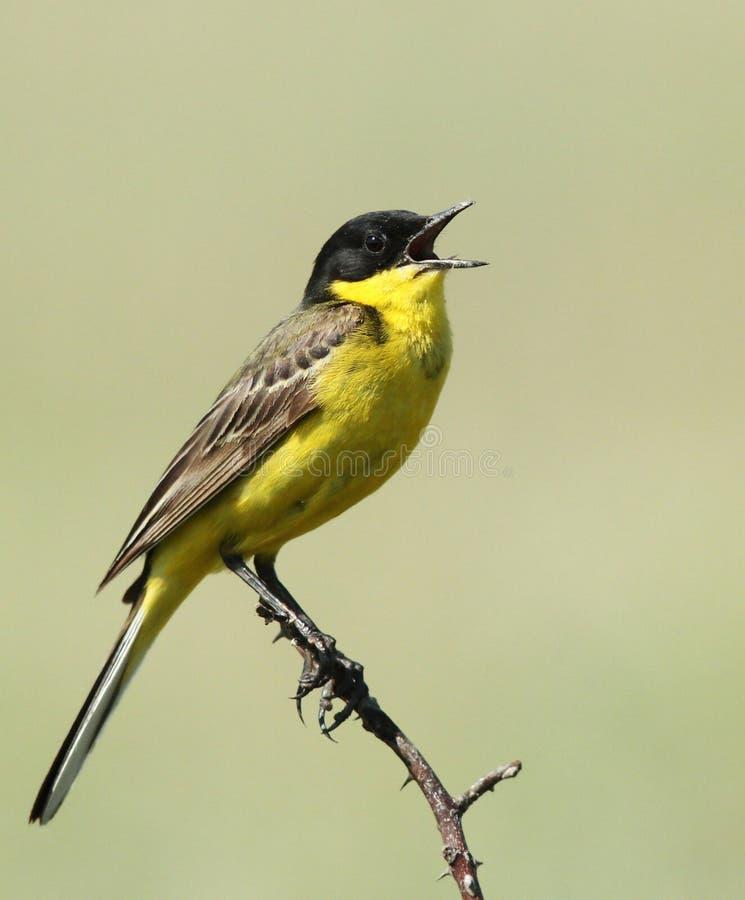 De kleurrijke het zingen vogel in de lente royalty-vrije stock fotografie