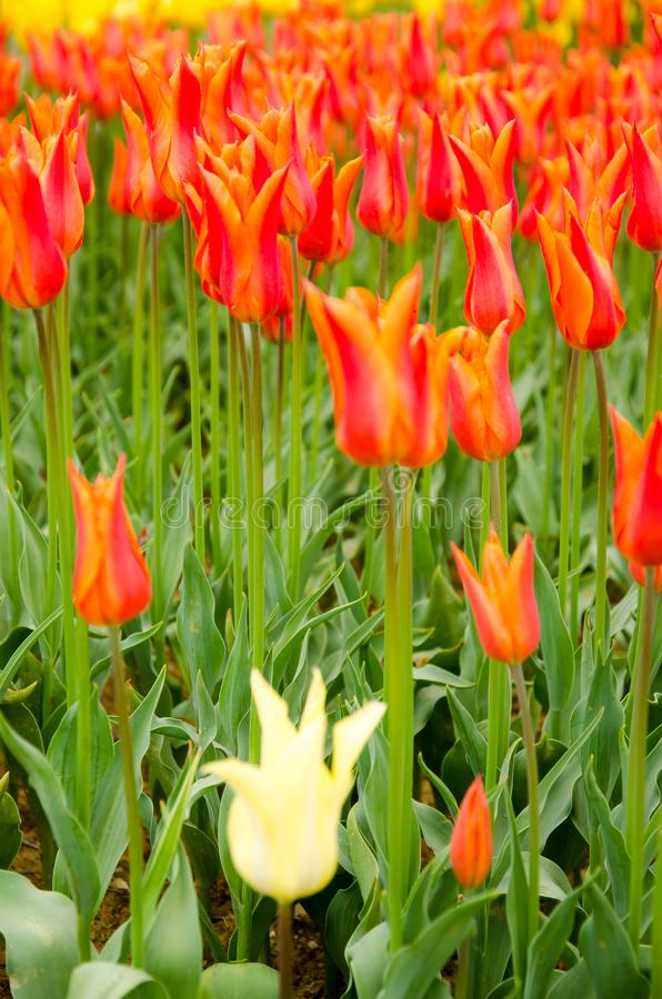 De kleurrijke lente bloeien en het bloembed in de parken en de tuinen langs Bosforus in Turkije royalty-vrije stock afbeeldingen