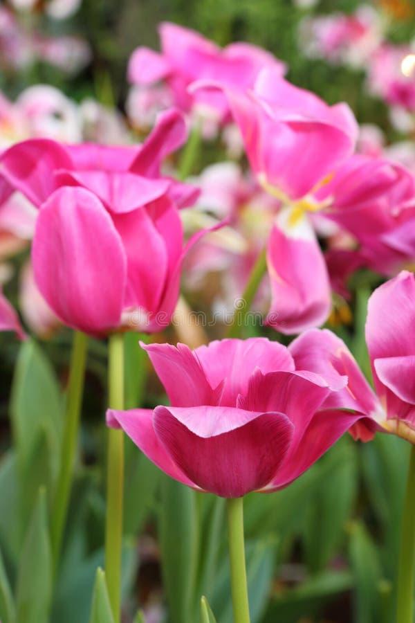 Download De Kleurrijke Lente Van De Tulpenbloem In Tuin Stock Afbeelding - Afbeelding bestaande uit bloemen, bloesem: 29509791