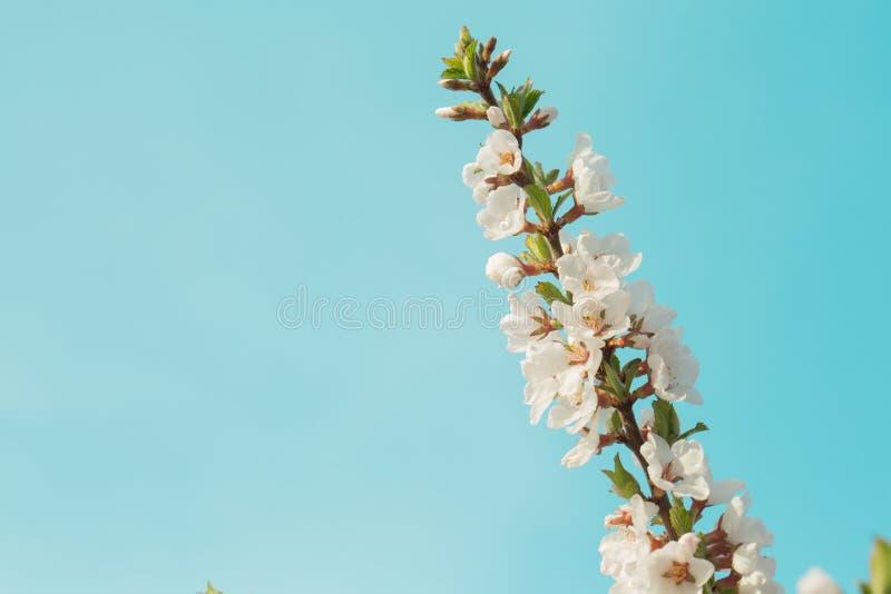 De kleurrijke mooie tak van de de lentekers met het bloeien bloeit op een duidelijke blauwe hemel Grote blauwe achtergrond stock foto