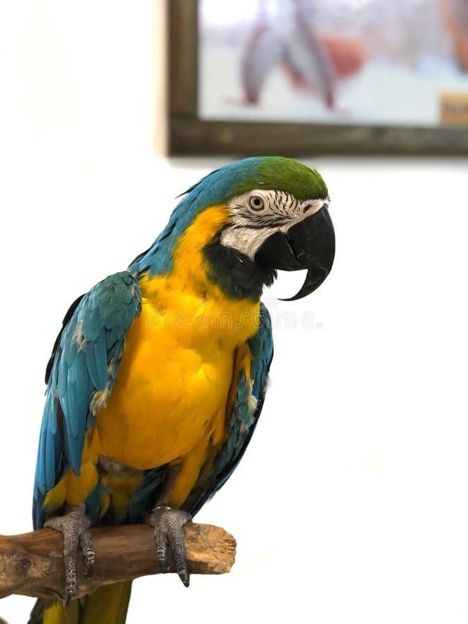 De kleurrijke papegaaiaronskelken met helder gevederte van blauwe geelgroene en witte kleur zit bij het barling royalty-vrije stock fotografie