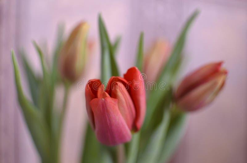 De kleurrijke tulp bloeit roze achtergrond stock foto