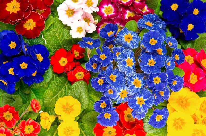 De kleurrijke verse bloemen van de de lenteprimula stock foto
