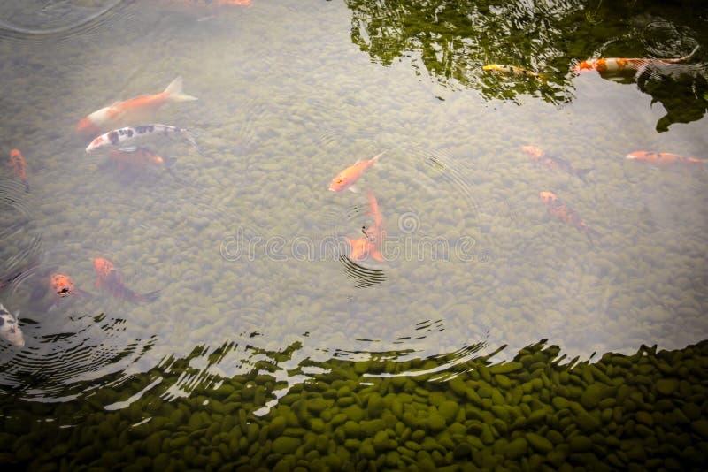 De kleurrijke vissen die van de coikarper in de vijver zwemmen royalty-vrije stock foto's