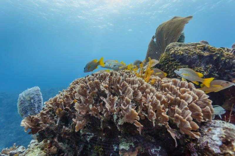 De kleurrijke vissen zwemmen in koraal op barrièrerif stock foto's