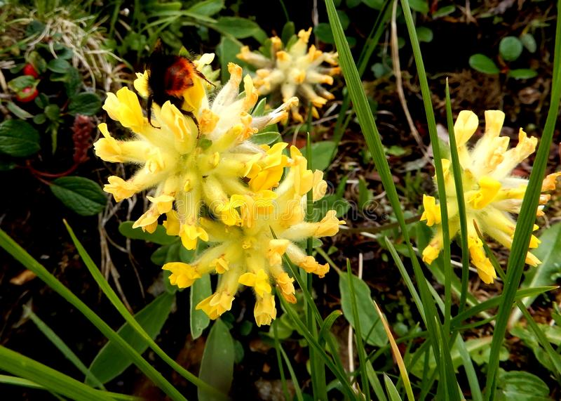 De kleurrijke wilde alpiene bloemenbloesems sluiten omhoog stock fotografie