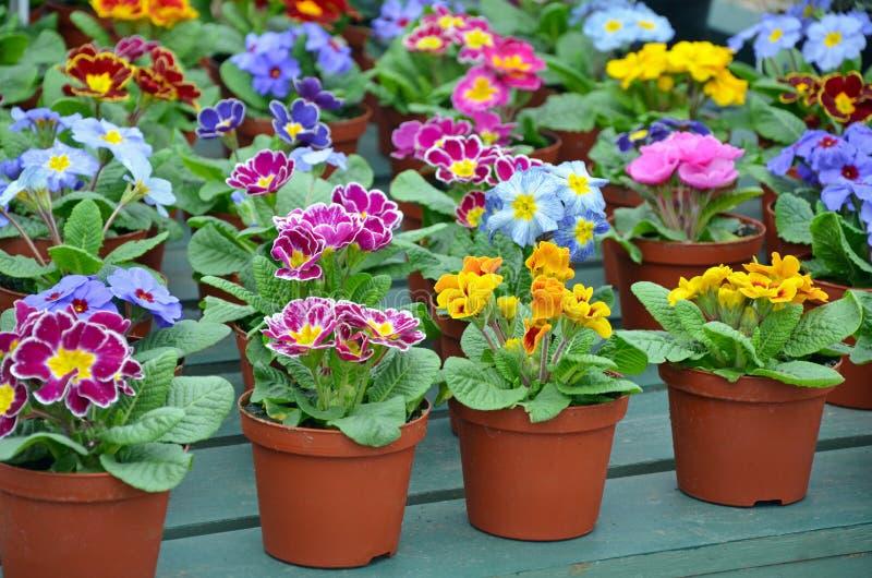 De kleurrijke winter pansies royalty-vrije stock afbeeldingen