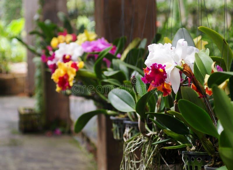 De kleurrijke zachte grote witte roze violette gele tuin van het kleurenhuis verfraait orchideeënbloemen op een hangende pot royalty-vrije stock afbeelding