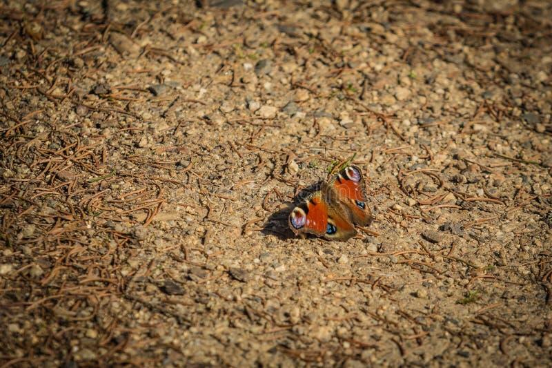 De kleurrijke zitting van de pauwvlinder op grond stock afbeeldingen
