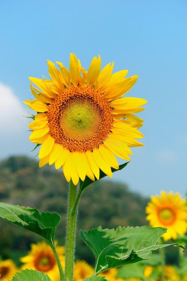 De kleurrijke zonbloem stock afbeelding