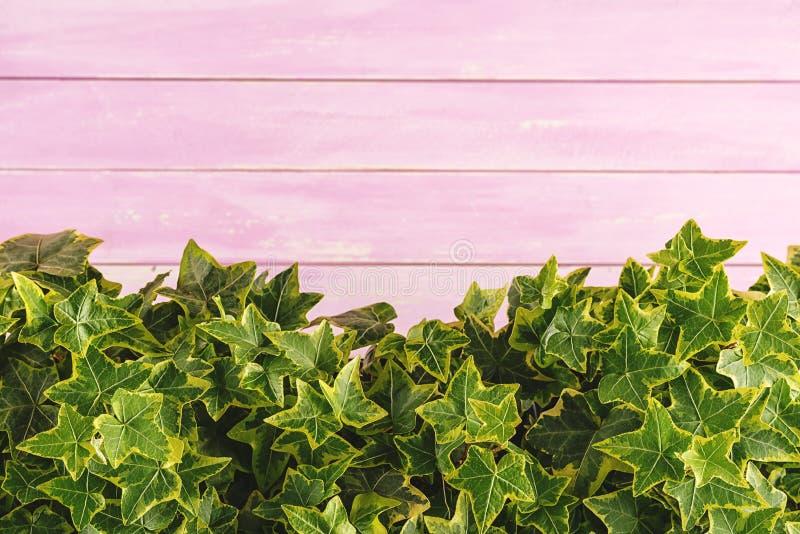 De klimop verlaat detail, macrofotografie van hedera, groene installatiedetail op roze houten achtergrond stock foto