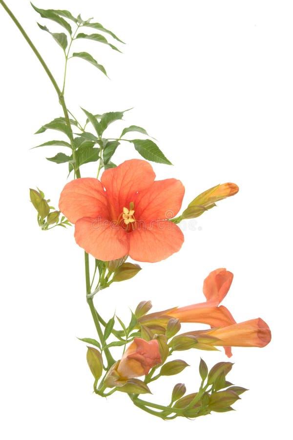 De klimplant van de trompet stock afbeeldingen