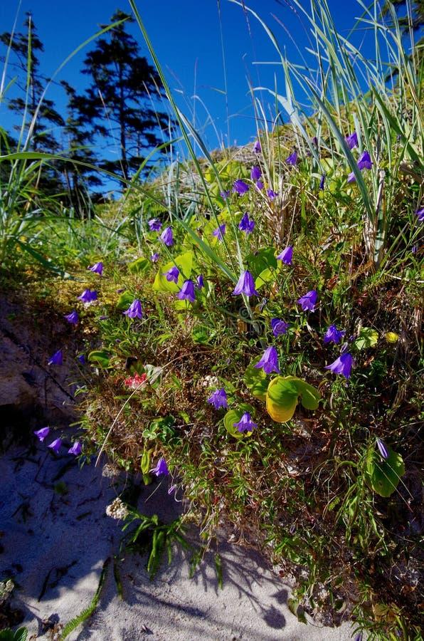 De klokken van Canterbury en andere wildflowers groeien dichtbij strand op eiland op de centrale kust, Brits Colombia royalty-vrije stock foto's
