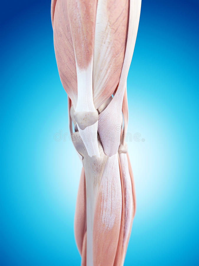 De knieanatomie vector illustratie